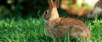 Brown hare in the green grass - Wild animal