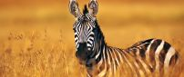 A beautiful zebra in the yellowed field