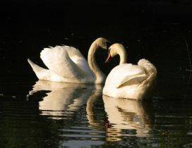 Two swans on the lake in the sunlight