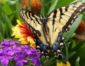 Beautiful black and cream butterfly on the colorful flowers