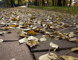 Yellowed leaves on the park alley