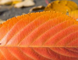 Red leaf in a HD wallpaper - Autumn time