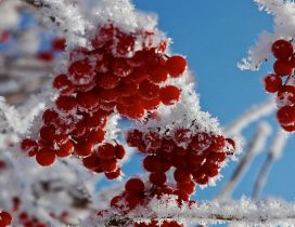 Red frozen fruits - cold winter time for nature