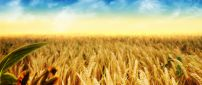 Golden wheat field - HD wonderful nature wallpaper