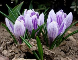 Beautiful crocuses flowers in the nature - spring season