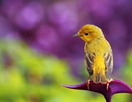 Beautiful yellow bird - HD spring wallpaper