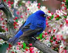 Wonderful blue bird in the blossom tree - HD wallpaper