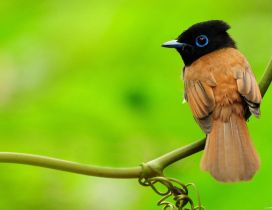 Beautiful little bird - black and brown color