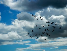 Birds fly on the sky through the clouds - HD wallpaper