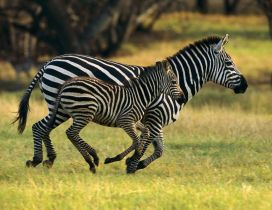 Mother and child running in the jungle - Zebra animals