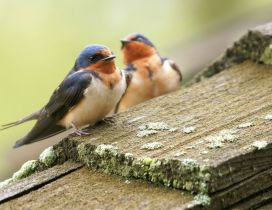 Two little birds on the wood - HD wallpaper
