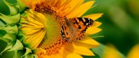 Big butterfly on a sunflower - HD wallpaper