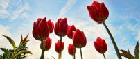 Red tulips in a beautiful day - HD wallpaper