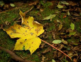 One yellow Autumn leaf on the moss - HD season wallpaper