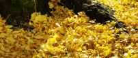 Lots of yellow leaves - Autumn carpet