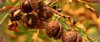 Delicious chestnuts in the tree - HD wallpaper