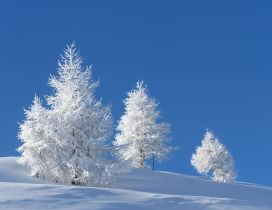 Wonderful white trees on the field full with snow