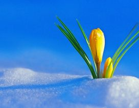 Yellow flowers under the cold snow -Winter and spring season