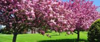Blossom trees in the garden - Spring season HD