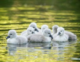 Little ducks on the lake - Wonderful baby animals