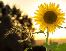 One single sunflower in the sunset light - HD wallpaper