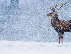 Wonderful snow in the winter season - Wild deer in nature