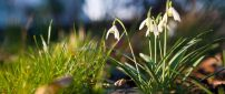Snowdrops in sunshine - Beautiful spring flowers