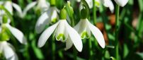 Macro snowdrops in sunshine - Beautiful spring flowers