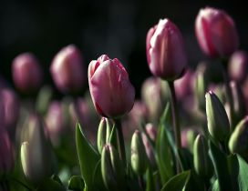 Garden full with purple tulips - Wonderful wallpaper