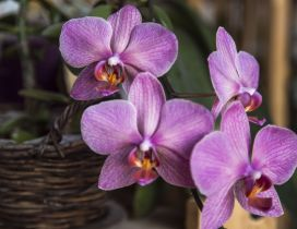 Pink orchid in a wooden basket - Beautiful flower