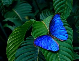 Wonderful blue butterfly on a green leaf - Macro wallpaper