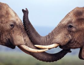 Kiss between two sweet elephants - HD wild animal