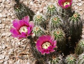 Pink Cactus flower blooming - Desert place