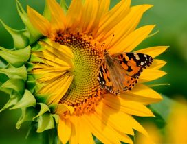 Orange butterfly on a sunflower - Happy summer day