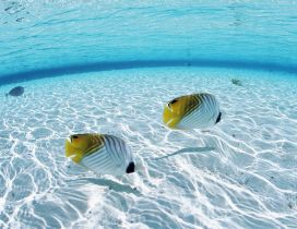 Two white and yellow fishes in the clear ocean water
