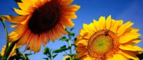 Two sunflowers talk in the sun - Happy day