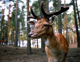 Professional photo - Wonderful deer eyes