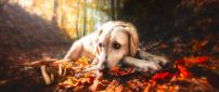 Sad dog sit on a leaves Autumn carpet - HD wallpaper