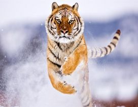 Spectacular jump in the snow - Furious tiger