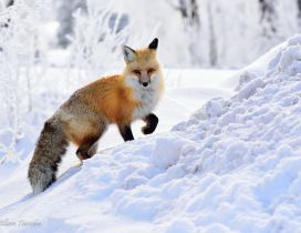 Wild fox climb on the snow - HD wild animal in winter season