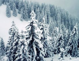 Wonderful mountain trees full with white snow - Pure Nature