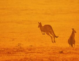 Kangaroo from Australia - Animals burn in fire sad year