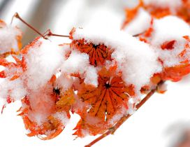 Snow cover the rusty leaves on a branch tree