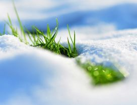 Fresh green grass wake up under the cold snow - Spring time