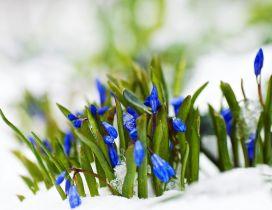 Little blue flowers early Spring season - Cold snow on grass