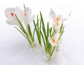Wonderful white spring flowers under the cold snow