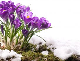 Beautiful purple bouquet of Crocuses - Spring season