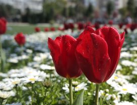 Wonderful red tulips in the garden - Spring flowers