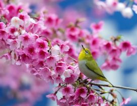 Beautiful Japanese cherry blossom tree - Bird sing spring