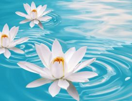 Three white waterlilies on a blue water - Flower perfume